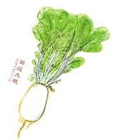 なにわの伝統野菜 田辺大根(たなべだいこん)